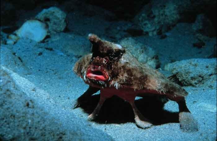 pez murciélago (Ogcocephalus parvus) caminando