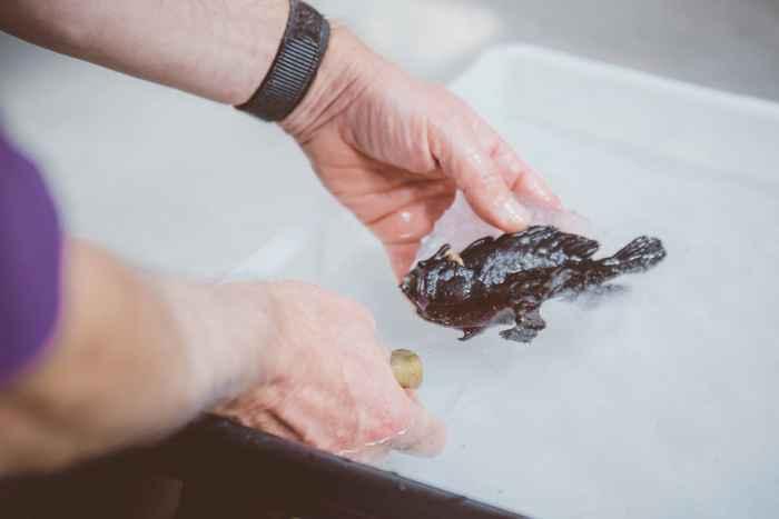 pez sapo negro (Antennarius striatus)