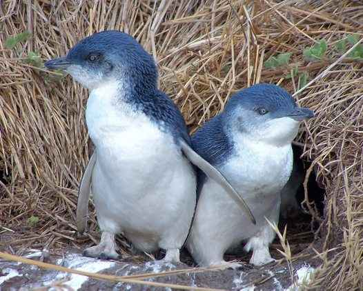 pingüino del hada (Eudyptula minor)