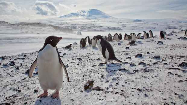 pingüinos Adelia en la Antártida