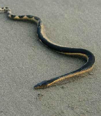 serpiente marina de vientre amarillo (Pelamis platura)