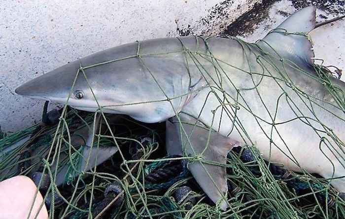 tiburón Carcharhinus Isodon enredado