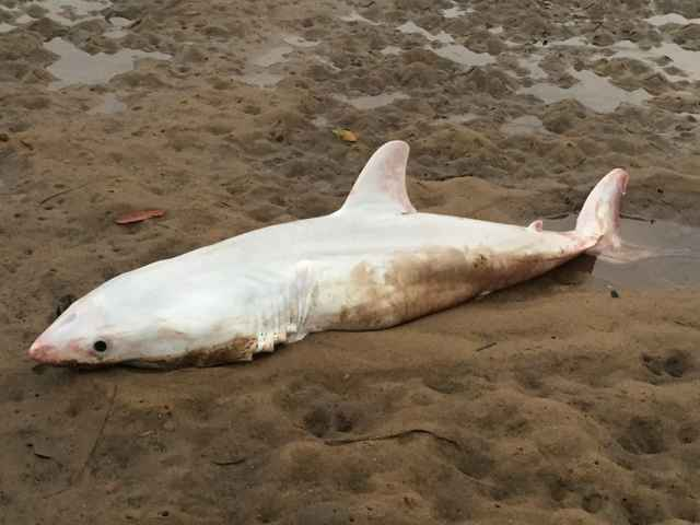 juvenil de tiburón blanco leucístico