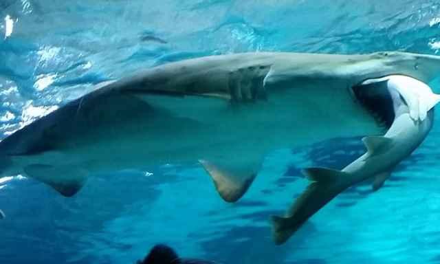 tiburón se come a otro tiburón
