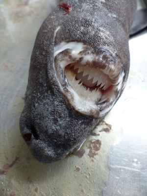 tiburón lija o carocho (Dalatias Licha)