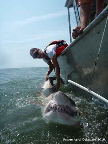 marcado de un tiburón tigre de arena por Danielle Haulsee