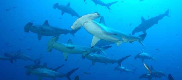 tiburones martillo en Isla Socorro