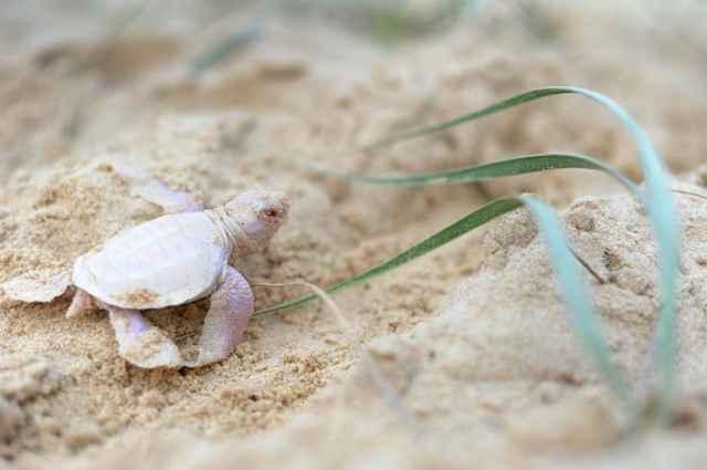 tortuga albina encontrada en Australia