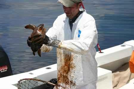 tortuga petroleada por le derrame de la Deepwater Horizon