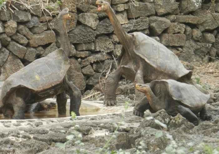 híbridos de tortugas en su nuevo hábitat