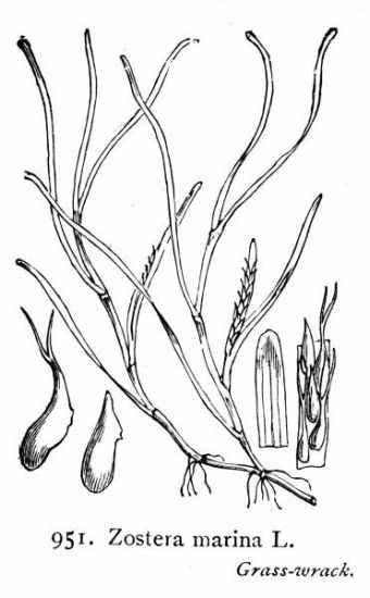 Zostera marina dibujo