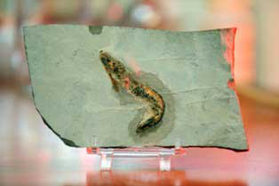 Aciculopoda mapesi