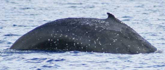 ampollas de ballena azul