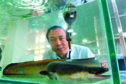 anguila japonesa  a la que China coloca un GPS