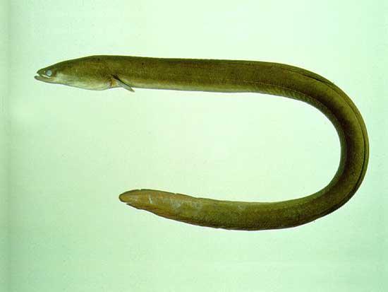 anguila japonesa
