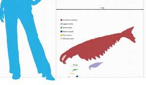 Anomalicaris, comparación con el tamaño de un hombre