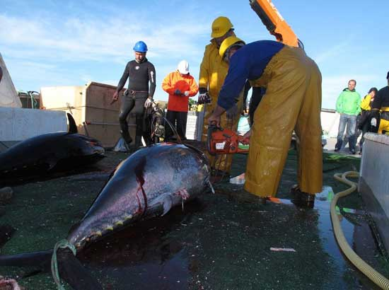 atún pescado por personal del Grupo Balfegó