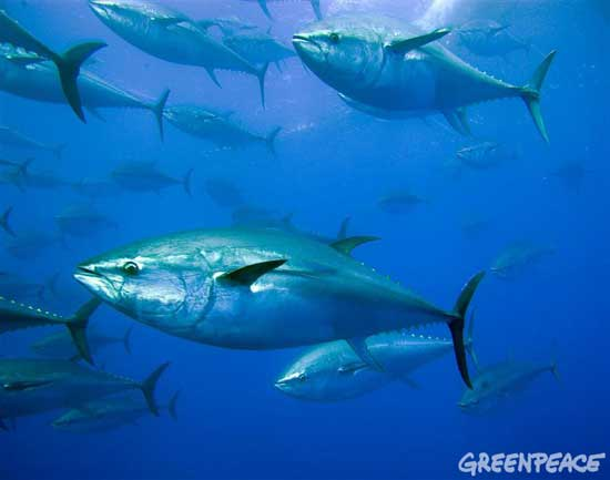 atún rojo, foto Greenpeace Gavin Newman