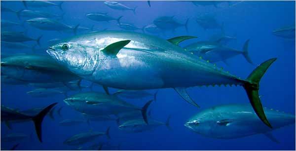 atún rojo en el mar Balear