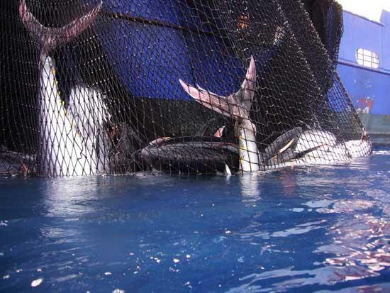 atunes capturados con redes de cerco