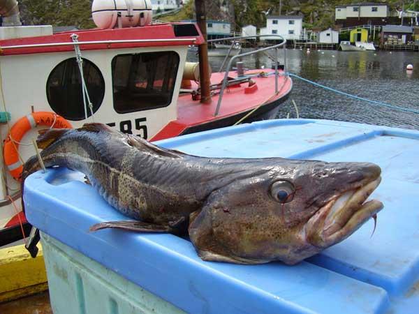 bacalao de Terranova, Canadá