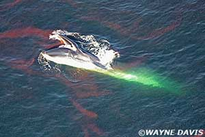 ballena comiendo plancton