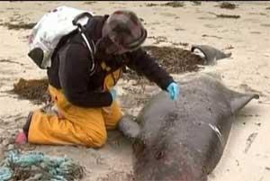 ballena piloto varada en las costas de Irlanda, análisis