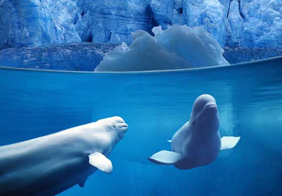 ballenas beluga