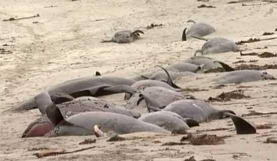 ballenas piloto varadas en las costas de Irlanda