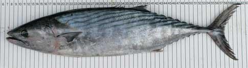 bonito atlántico (Sarda sarda)