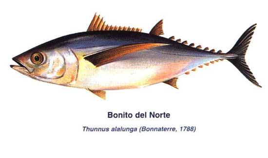 bonito del norte (Thunnus alalunga)