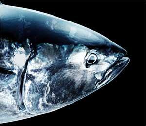 cabeza de atún rojo, da la cara por el atún