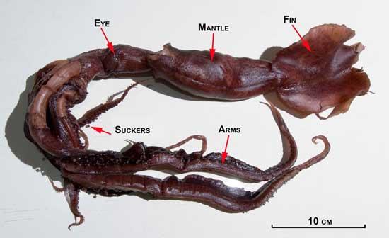calamar chiroteuthid. nueva especie detalles