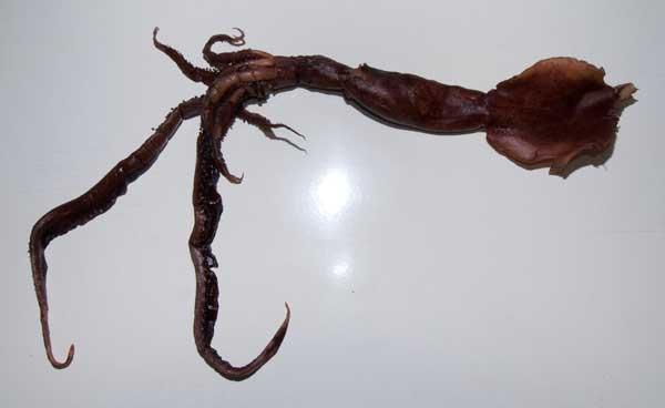 calamar familia chiroteuthid, nueva especie