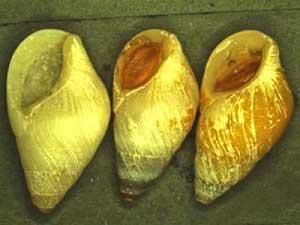caracol clusterwink opaco, Hinea brasiliana