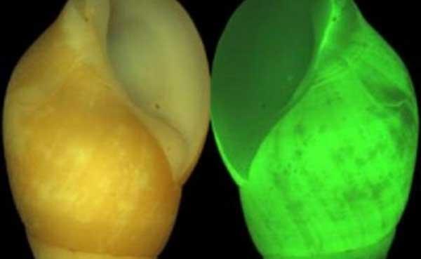 caracol clusterwink luminoso, Hinea brasiliana