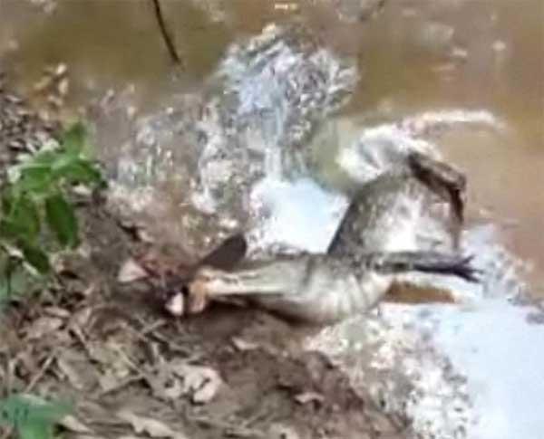 cocodrilo electrocutado mordiendo una anguila eléctrica