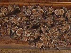 colonia de Myotis myotis