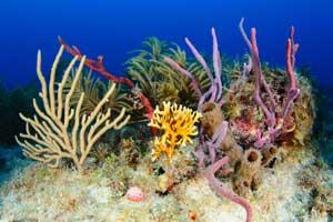 corales, gorgonias y esponjas del Golfo de Mexico, Oceana