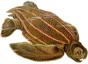 Dermochelys coriacea, tortuga laud
