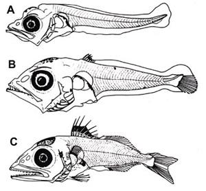 desarrollo de las larvas del atún rojo