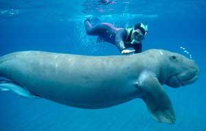 dugongo con buzo