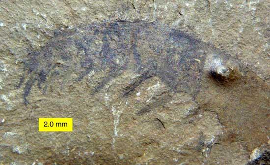 fósil de Anomalicaris