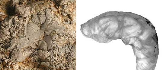 detalle de los múculos en la gamba fósil y de ota actual
