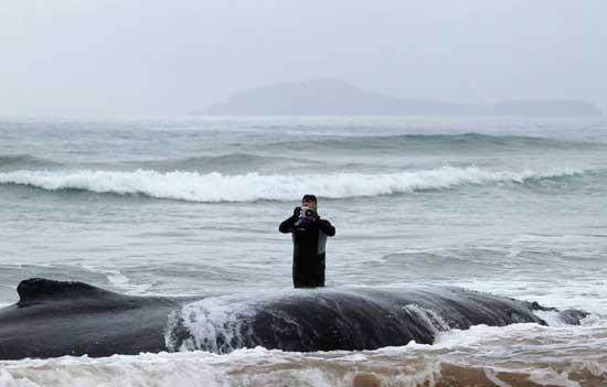 intento de rescate de un ballena varada en Geribá, Brasil