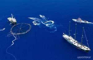 jaula de transporte de atún rojo acosada por Greenpeace