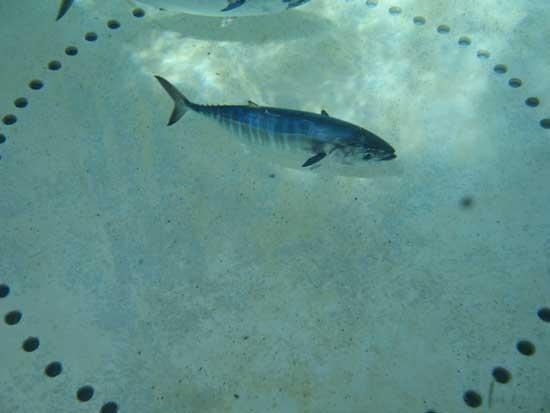 juvenil de atún rojo