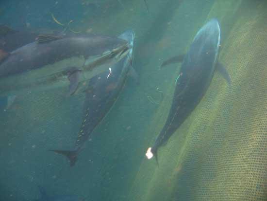 juveniles de atún rojo, IEO