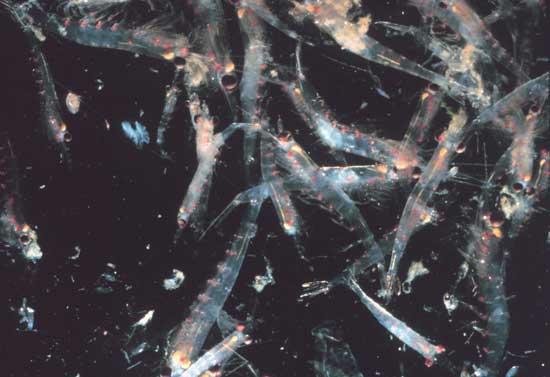concentración de krill