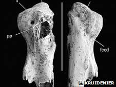 Leptoptilos robustus, huesos fósiles